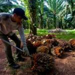 Investor AS Cari Lahan Sawit 250 Ribu Hektare